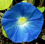 100 Heavenly Blue Morning Glory Seeds (Ipomoea Tricolor)
