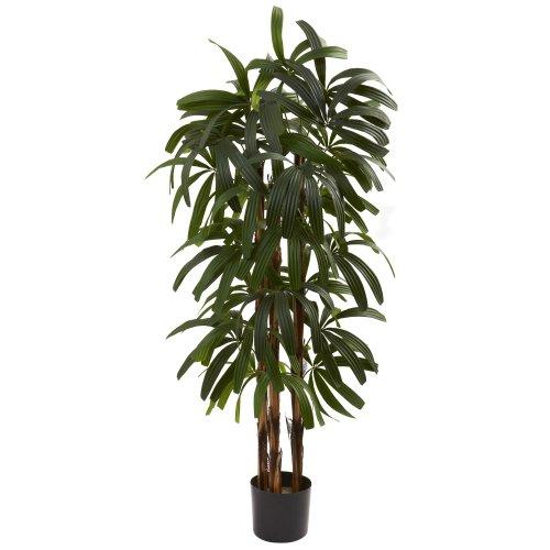 Buy 4 raphis palm tree