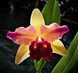 Blc. Toshie's Magic 'Doris' Blooms 2 times a year! Easy Beginner's Orchid!