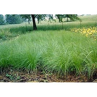 Ornamental Grass Seed - Sporobolus Heterolepis Prairie Dropseed Seeds : Garden & Outdoor