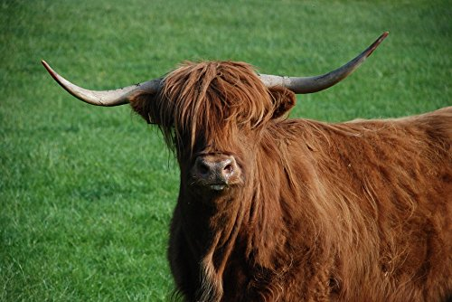 - Home Comforts Peel-n-Stick Poster of Beef Highland Cattle Cow Highlandrind Highland Beef Poster 24x16 Adhesive Sticker Poster Print