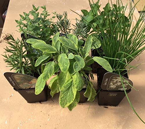 6 x Herb Plants - Including Herbs Like Rosemary - Coriander - Mint - Chives - Lavender - 9cm Pots Ready to Plant Carbeth Plants