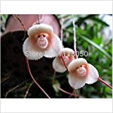SALE! 100pcs Beautiful Monkey face orchids seeds Multiple varieties Bonsai plants Seeds for home & garden