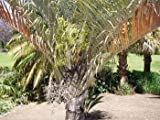 Triangle Palm Seeds (Neodypsis decaryi) 2+ Rare Seeds + FREE Bonus 6 Variety Seed Pack - a $29.95 Value! Packed in FROZEN SEED CAPSULES for Growing Seeds Now or Saving Seeds For Years