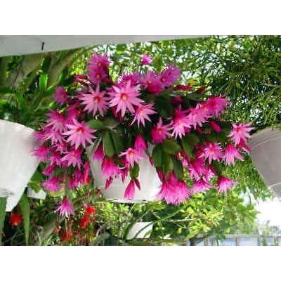 2 Easter Orchid Cactus Epiphyllum Hatiora gaertneri Fresh Plant Cutting, no Root NHKM14 : Garden & Outdoor
