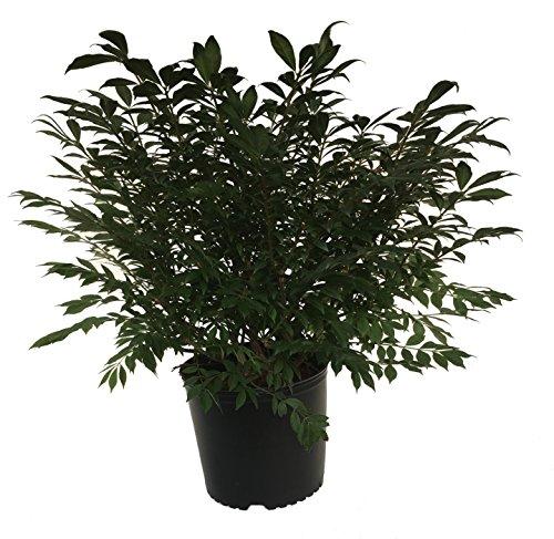 - Dwarf Burning Bush - Euonymus Alatus Compactus - 3 Gallon