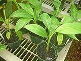 9GreenBox - Japanese Banana Basjoo Tree - 4'' Pot