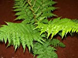 Australian Tree Fern, Well Rooted in Quart Containers