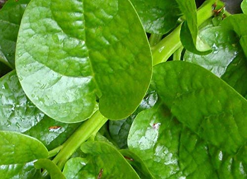 Malabar Green Spinach Seeds (40 Seed Pack)