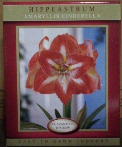 Hippeastrum Amaryllis Cinderella Growing Kit (like Minerva) Amaryllis Apple Pots