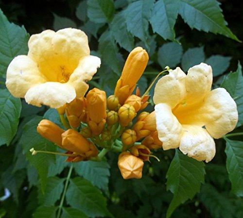 Vine Trumpet Plants - Yellow Trumpet Vine Plant - Campsis radicans - Flava - 2.5