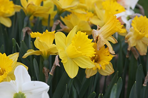 Pre-chilled Mixed Daffodils Narcissi - 20 Bulbs