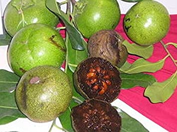 Amazon.com : Diospyros Digyna BLACK SAPOTE Persimmon Chocolate Pudding Fruit 5 Seeds RARE : Garden & Outdoor
