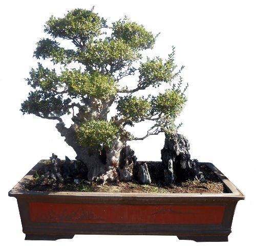 Gogogreen88 - 200 Year Old Elm Bonsai in Zisha Pot