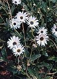10 Seeds of African Daisy 2578 (Arctotis Grandis)