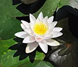 Live Aquatic Plant Nymphaea Colossea WHITE HARDY Water Lily TUBER for Aquarium Freshwater Fish Pond BUY 2 GET 1 FREE by JustNature