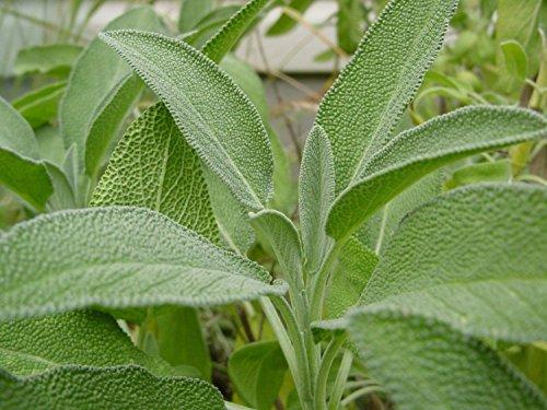 Salvia Officinalis Broadleaf Sage seeds 100 - Broadleaf Sage