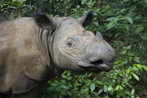 Sumatran Rhinoceros, Sumatran Rhino Sanctuary, Way Kambas National Park, Indonesia 40 x 60 Art Print On Canvas