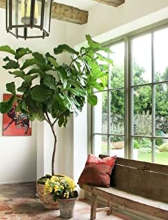 a fig tree and other nature inside someones apartment full of natural light moving back toward connecting with and
