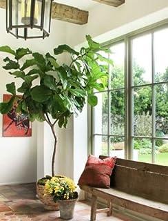 Ficus Lyrata - u0027Fiddle Leaf Figu0027 Tree - Houseplant