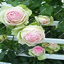 2016 New Arrival 5 Pcs Chinese Rare Peony Flower Seeds Exotic Beautiful Bonsai Indoor&Outdoor Planted For Garden&Home 16