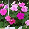 50 Seeds of Impatiens walleriana - Old Fashioned Impatiens Mix. Most dependable summer display!