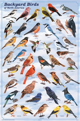 Backyard Birds Poster, 24x36