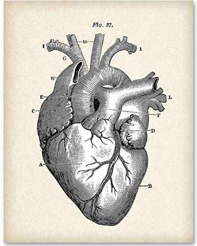 Anatomical Heart - 11x14 Unframed Art Print - Makes a Great Gift For Nurse's -