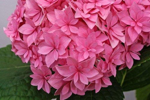 double-delights-perfection-hydrangea-bush-rebloomer-25-pot