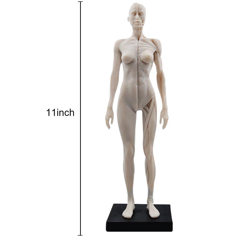 HUBERY MODEL 11 Inch Female Human Anatomy Model of Art Anatomy Figure(White)