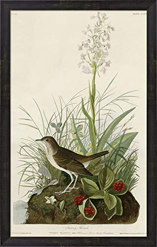 Tawny Thrush by Vintage Apple Collection Framed Art Print Wall Picture, Espresso Brown Frame, 19 x 30 inches