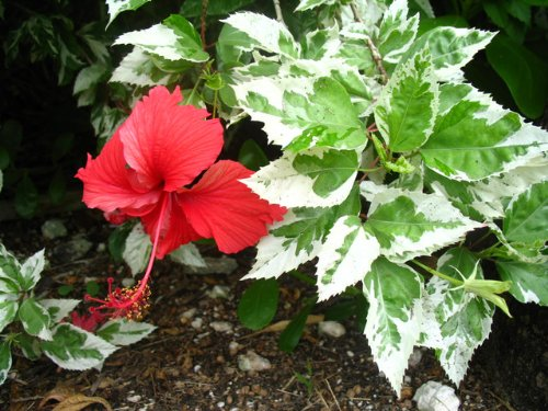 SNOW QUEEN Tropical Hibiscus Live Plant Variegated Green White Leaves and Single Red Flowers Starter Size 4 Inch Pot Emeralds (Hibiscus Single)