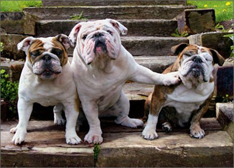 Bulldog Birthday (Bulldog Pushing Bulldog Funny Dog Birthday from Group Card)
