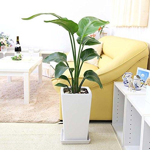 【ブルーミングスケープ】オーガスタ 7号 ホワイトスクエア陶器鉢 「ストレート」 飾りやすく存在感もある中型サイズの観葉植物 … B077NF65HH