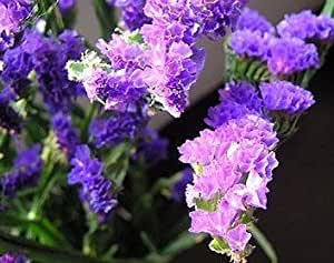 SD1500-0118 Limonium Forget-Me Flower Seeds, Mixed Color Petals, 60-Days Money Back Guarantee (50 Seeds)