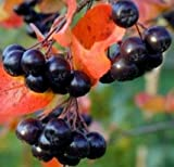 "Aronia Melanocarpa-Viking, Black Chokeberry, 4-8"" Tall Potted Plant, Great as a potted plant, or specimin garden plant"