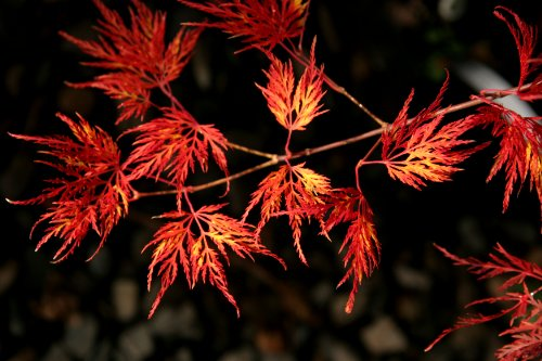 Green Lace Japanese Maple - Emerald Lace Weeping Japanese Maple 2 - Year Graft
