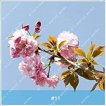 ZLKING 20Pcs/pack Japanischen Sakura Blumen Baum Bonsai Samen Cerasus  Yedoensis Kirschblüten Einfache Exotische Blumen