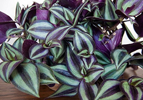 purple-wandering-jew-easy-to-grow-house-plant-inch-plant-4-pot