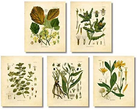 Ink Inc. Medicinal Therapeutic Herbalism Herb Vintage Botanical Art Prints, Set of 5, Arnica, Comfrey, Horehound, Thistle, Witch Hazel, 8×10 Matte Unframed