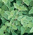 David's Garden Seeds Herb Oregano Greek D930A (Green) 1000 Open Pollinated Seeds