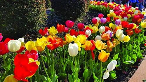 Burpee's Perennial Tulip Mix - 20 Flower Bulbs   Multiple Colors   12 - 14cm Diameter by Burpee