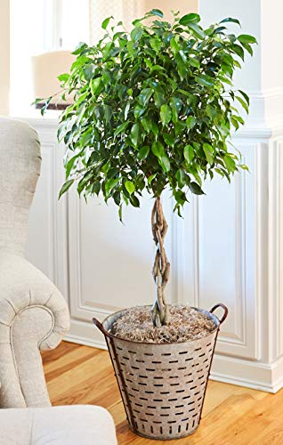 Benjamina Ficus Tree 3-4 ft. Tall - Unique Potted Tree, Perfect as a Live Patio Plants or Indoor Trees - Not Artificial Plants by Brighter Blooms (Image #2)