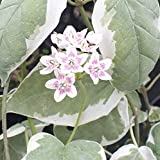 Dregea sinensis Brockhill Silver