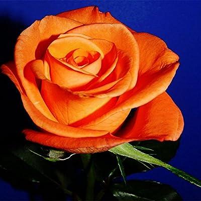 Adarl 100 pcs/Bag Orange Rare Rose Flower DIY Plants Home Garden Rare Orange Rose Seeds