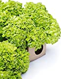 Farm2Door Fresh Hydrangeas: 15 Green Hydrangeas - Farm Direct Wholesale Fresh Flowers