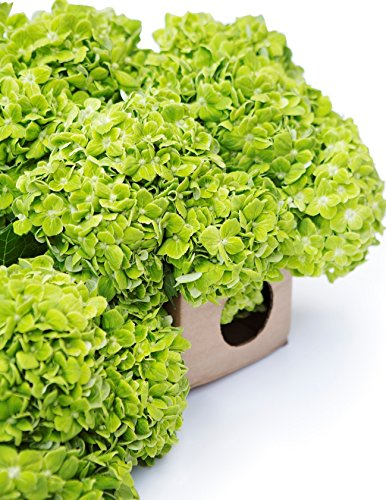 Farm2Door Fresh Hydrangeas: 15 Green Hydrangeas - Farm Direct Wholesale Fresh Flowers by Farm2Door