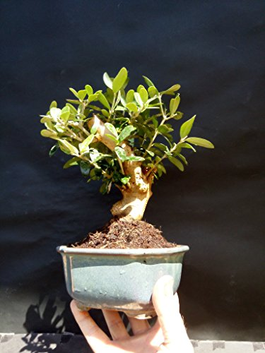 Olive tree - Bonsai - approximately 20 years old by mini bonsai (Image #3)