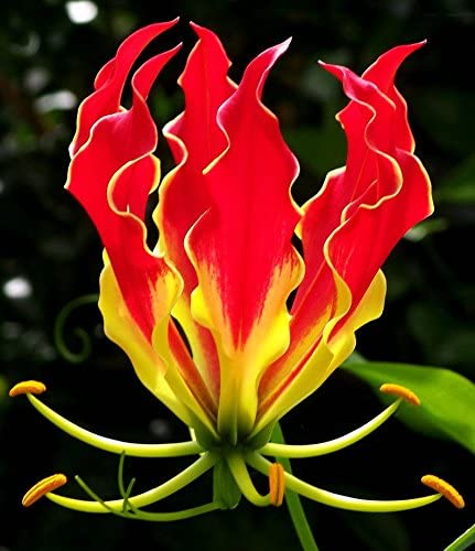 10 SEED GLORIOSA SUPERBA GLORY LILY FLAME LILY FLOWER