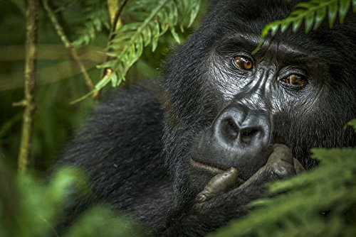 - Great Art Now Mountain Gorilla, Bwindi Impenetrable Forest, Uganda by Roger de la Harpe/Danita Delimont Art Print, 24 x 16 inches